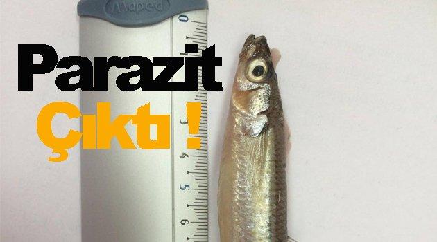 Gümüş balığında kaliteyi düşüren parazit tespit edildi