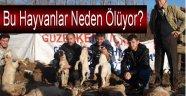 Koyun üreticileri isyanda