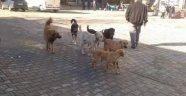 Erfelek'te Başıboş Köpek Tedirginliği