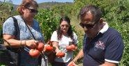 Boyabat'ta Gazidere domatesi için tescil başvurusu