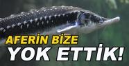 Mersin Balığı Büyük Tehlikede!