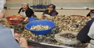 Sinop'tan Uzak Doğu'ya 632.750 Kg Deniz Salyangozu İhracatı