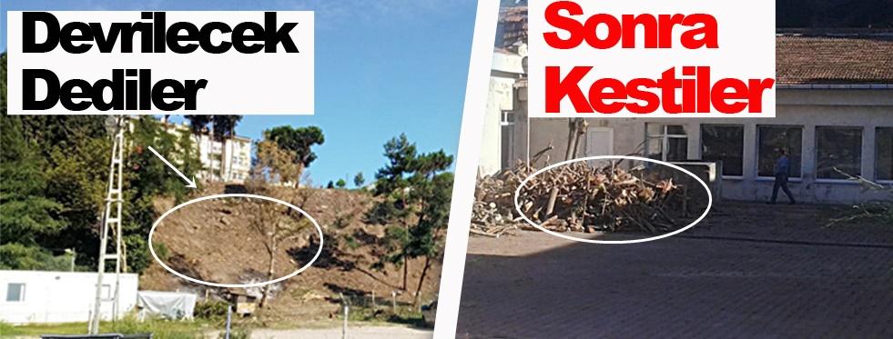 Devrilecek denilen ağaçlar kesildi !