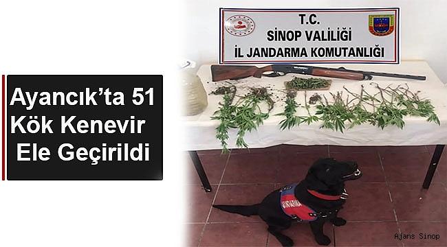 AYANCIK'TA 51 KÖK KENEVİR ELE GEÇİRİLDİ