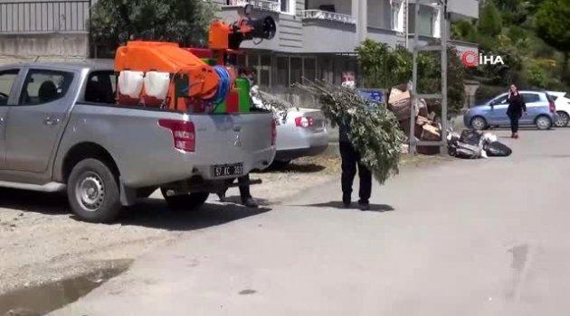 Sinop zeytini canlanıyor